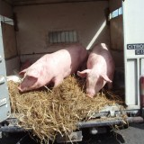 Pigs at market